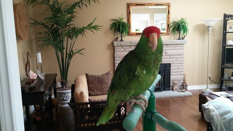 The pet parrot